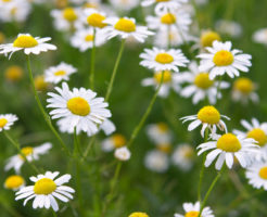 medical-daisies-000004146266_small